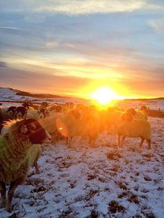 "@Martha_gilman ""@BritishWool last weekend in Macc forest #sheepoftheweek"""