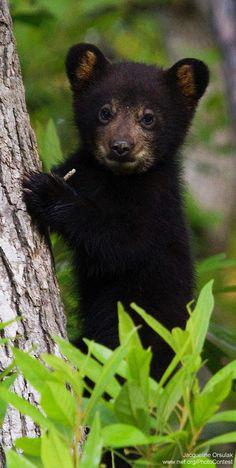 Black bear by Jacqueline Orsulak at the Alligator River Wildlife Refuge in North Carolina.