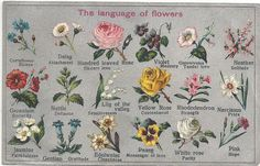 Nettle, narcissus (Scorpio, vanity) , hundred leaved rose, cornflower (riches, Capricorn), violet, rhododendron, carnation (Capricorn)??
