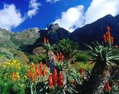 Discover the best attractions in Cape Town, South Africa including Kirstenbosch National Botanical Garden, Cape of Good Hope, Table Mountain. Most Beautiful Gardens, Most Beautiful Cities, Pretoria, Isla Victoria, Victoria Island, Time For Africa, National Botanical Gardens, Cape Town South Africa, All Nature