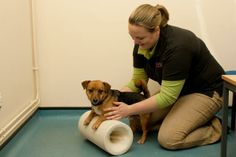Physiotherapy for dogs - involves various techniques to help improve mobility