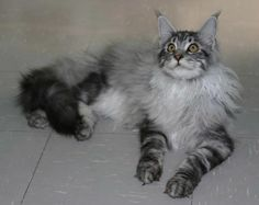 silver tabby maine coon rockoon
