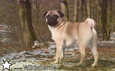 """Unser Hund der Woche – der """"Mops"""""""