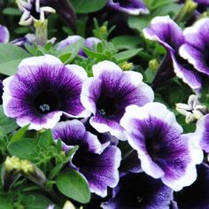 PURPLE HALO petunia -  2016 These are the ones I planted in my deck rail planters.   Beautiful!  Tana