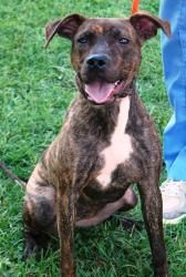 ANGELINA is an adoptable Catahoula Leopard Dog Dog in Franklin, TN. Beautiful Angelina is such a fun dog! She is a Pit Bull mix with a gorgeous brindle coat and is one year old. She is an energetic do...