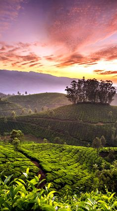 Darjeeling, Tea plantation, India