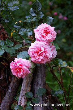 rosa ''Aloha'' Beautiful Roses, Pink Roses, Archive, Garden, Flowers, Plants, Design, Garten, Lawn And Garden