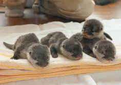 süsse tierbilder baby fischotter vier tierebabys