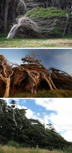 Slope Point is the southernmost tip of New Zealand's South Island. Decades ago, local farmers planted saplings which they hoped would help shelter their sheep from the often savagely inclement weather. The airstreams which loop the vast circumpolar Southern Ocean are unobstructed for 2,000 miles before arriving here.  As the trees grew, the unrelenting wind coming in from the ocean caused their trunks & branches to twist & grow in a northerly direction. #myt