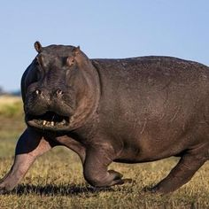 Did you know that a hippo can run at 35 miles an hour and is the most dangerous animal in Africa www.zoovue.com #wildlife #zoo #conservation #hippopotamus