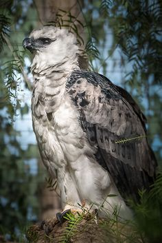 Harpy Eagle | Flickr - Photo Sharing!