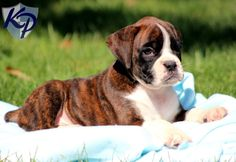 please excuse me for a second while I obsess over how freaking CUTE boxer puppies are. I need another little baby asap.