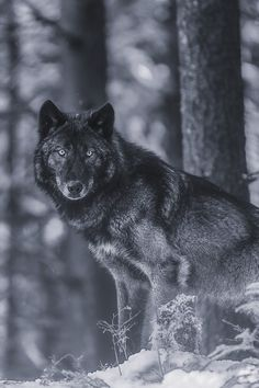 Wolf in black and white!