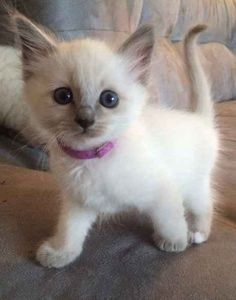 Active baby siamese cat �