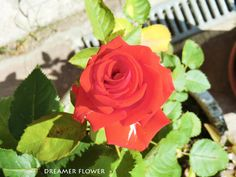 Rosa Rossa - Red Roses
