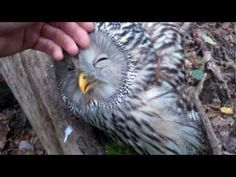 Sweet wild Owl....You must see this - YouTube