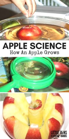 Learn how an apple grows for fun fall preschool science. Simple apple science activity for young kids to learn all about apples. Great for Apple STEM activities, Ten Apples Up On Top activities, and fall science activities!