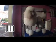 Peluquería Canina Nanuka Style - Julio Caniche Gigante - Standard Poodle - YouTube