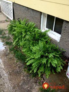 Paprade sú veľmi vďačné na pestovanie. Vyzerajú krásne počas celého roka, prežijú aj v tmavom kúte vášho bytu, alebo okolo domu na miestach, kde vám iné okrasné rastliny nevydržia najmä kvôli nedostatku svetla. Na to, aby boli paprade silné, krásne a vydržali aj náročnejšie podmienky, potrebujú malú vzpruhu. Vyskúšajte trik záhradkára, vďaka ktorému budú paprade...