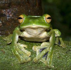 flying frog found in Vietnam