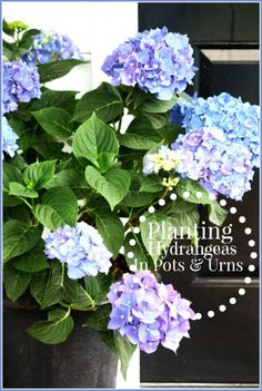 Lovely garden ideas including planting hydrangeas in pots and Urns