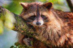 Raccoon,WP PF (by Naturfotografie - Stefan Betz)