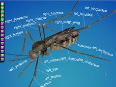 3D mosquito - Google 検索