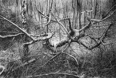 fallen tree conté on paper 220 x 150cm