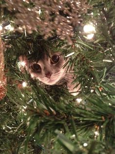 24 Animals Who Are Here To Get You Into The Holiday Spirit (Day - World's largest collection of cat memes and other animals Cat Christmas Tree, Christmas Animals, Xmas, Crazy Cat Lady, Crazy Cats, Beautiful Cats, Animals Beautiful, Cat Celebrating, Animals And Pets