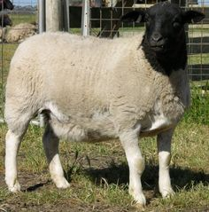 Black Headed Dorper - Hair Sheep. You don't have to shear them and they are great meat sheep.