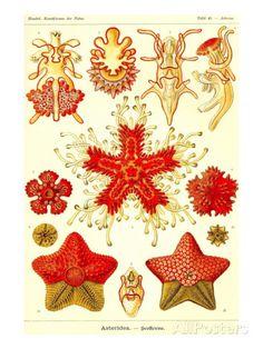 Étoiles de mer Reproduction d'art