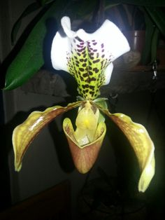 My slipper orchid