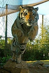 Mike VI flies through the air with the greatest of ease.
