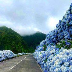 Portugal, Las Azores, Terceira Azores, Hydrangea Bloom, White Hydrangeas, Hydrangea Garden, Get Outside, Costa Rica, Places To See