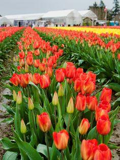 Skagit Valley Tulip Festival, Mount Vernon Washington