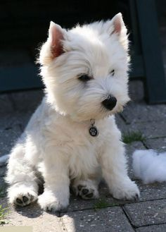 aww, how cute is he? #westie #puppy