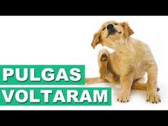 AS PULGAS VOLTARAM - Vet Responde - YouTube