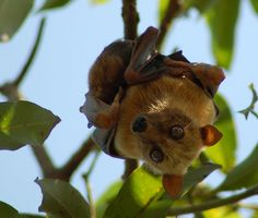 Sulawesi fruit bat: This sweet-faced flying fox is a lowland species of the Sulawesi subregion. It has a relative tolerance for human distur...