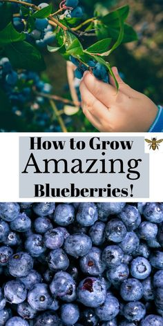 """Modern Garden Landscaping Curious about how to grow blueberries? What soil type do they need? What amendments do I need to make to the soil? I've got all the answers with lots of photos to show you how! Check out """"How to Grow Amazing Blueberries"""" today! Organic Soil, Organic Gardening, Gardening Tips, Sustainable Gardening, Vegetable Gardening, Types Of Soil, Soil Type, Growing Blueberries, Blueberry Plant"""
