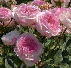 Madame Pierre Oger, arbuste 1,5 m. Fleurs nacrées globuleuse, très parfumées Un rosier de charme. Une mutation de 'Reine Victoria' bien florifère. Les fleurs rose argenté pâle, aux pétales fermes, évoquent de petits nénuphars. La remontée sera bonne si vous lui apportez les soins nécessaires au cours de l'été. Bourbon, 1878