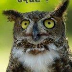 owl olhado firme