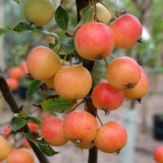 Malus Marble Tree, Flowering Crab Apple Trees
