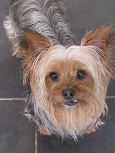Queenie is an adoptable Yorkshire Terrier Yorkie searching for a forever family near Daphne, AL. Use Petfinder to find adoptable pets in your area.