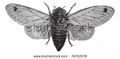 Seventeen-Year Cicada or Magicicada sp., vintage engraving. Old engraved illustration of a Seventeen-Year Cicada. Trousset Encyclopedia by Morphart Creation, via ShutterStock