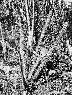 Simpson's Applecactus (Harrisia simpsonii)