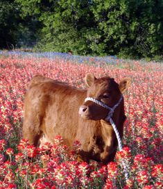 Cute Baby Cow, Baby Cows, Cute Cows, Cute Babies, Fluffy Cows, Fluffy Animals, Nature Aesthetic, Tier Fotos, Cute Little Animals