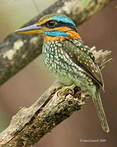 Spotted Kingfisher