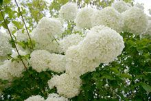 Annabelle Hydrangea An extraordinary white flowering deciduous shrub that can be pruned heavily and endure severe winter temperatures. With no care this hydrangea blooms profusely every year. A compact, fast-growing shrub, Full Shade Shrubs, Trees And Shrubs, Hydrangea Shrub, Hydrangea Not Blooming, Hydrangeas For Sale, Shade Garden, Garden Plants, Flower Gardening, Gardens