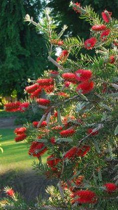 """""""Cepillo"""" arbusto lindo y resistente tropical."""