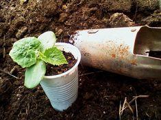 Cum se cultiva castraveti din rasaduri - magazinul de acasă
